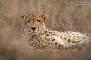 Lying down with a Cheetah