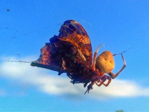 Orb-weaving Spider Having Breakfast
