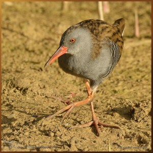 The stealth Water rail