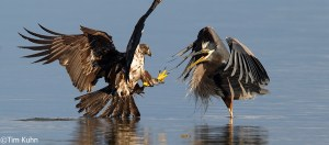 Bald Eagle stealing from Great Blue Heron