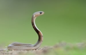 Baby Cobra
