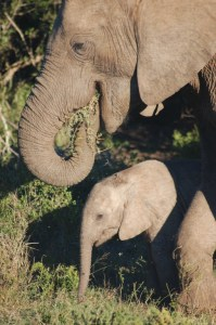 Mother elephant and its calf feeding in Addo