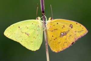 Seeing Double . . . Large Orange Sulphurs
