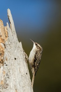 Going Upwards (Short Toed Treecreeper)