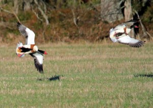 Common Shelduck Fighting