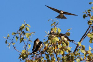 Swallows and Martins Ready to Migrate