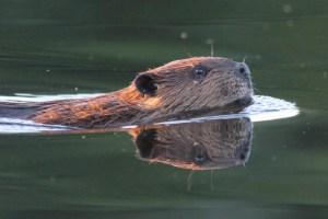 Beaver Reflection