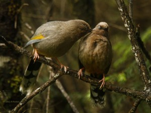 Mutual Preening-elliot's Laughing Thrush