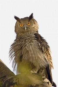 Dusky Eagle Owl in Ranthambhore