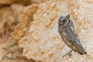 The Pallid Scops Owl in Kuwait