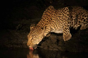 Leopard Drinking after Dark