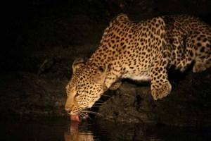 Leopard Drinking after Dark
