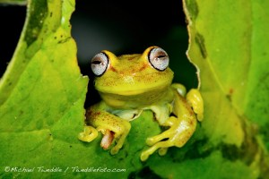 Hi Muppet! Hypsiboas tree frog