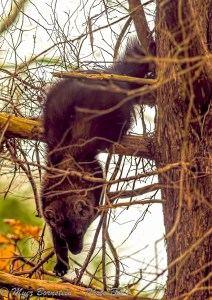 Fisher Climbing Down a Tree