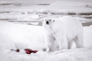 In the World of the Ice Bear, Red is the Colour of Life