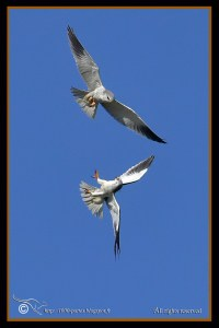 Black-winged Kite, Parading