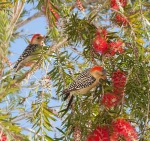 Red-bellied Woodpeckers in Bottlebrush