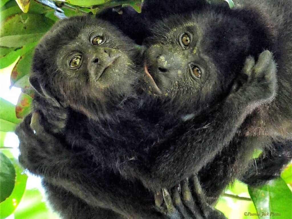Brotherly Love – Howler Monkeys