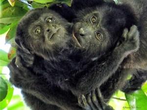 Brotherly Love - Howler Monkeys