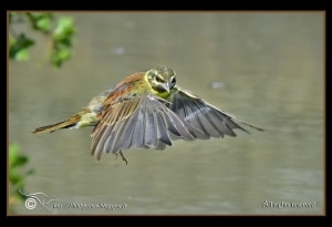Hovering Cirl Bunting!