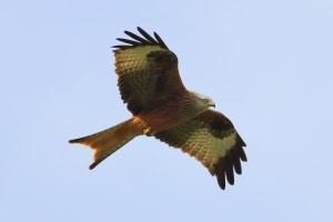 Red Kite Milvus milvus (3)