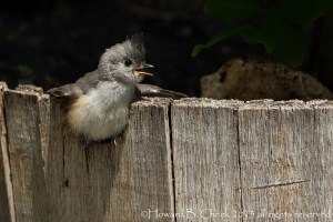Child Seat - Titmouse fledgling
