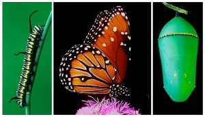 Queen Butterfly life cycle (D. gilippus)