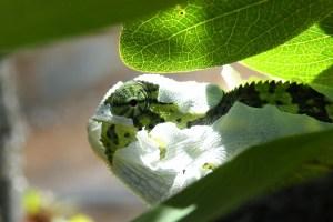 Chameleon Casting Its Skin