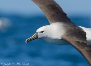 Yellow-nosed Albatross Thalassarche carter