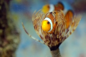 Clown Fish in a Feather Duster