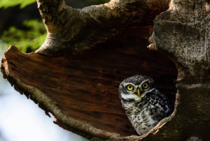 Spotted Owlet - Patrol