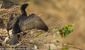 Neotropic Double-crested Cormorant Hybrid