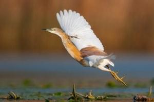 Squacco Heron take off by Jonas Landolt