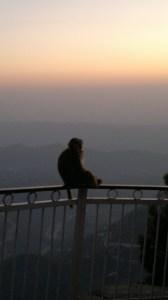 Rhesus macaque (Macaca mulatta) by Anant Bharadwaj