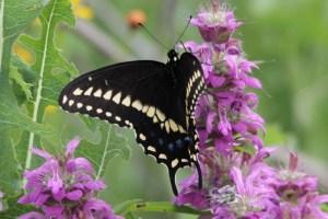 Swallowtail by Drew Foran