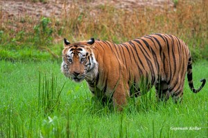 Drenched Tiger by Gopinath Kollur