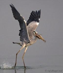 Grey Heron by Raj Dhage