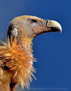 HImalayan Vulture by Nitin Bhardwaj