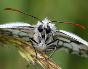 Early morning Marbled White Butterfly by Roger Hatcliffe