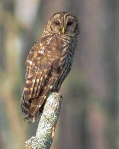 Barred Owl Okefenokee Swamp by Patrick Castleberry