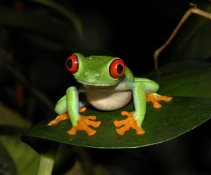 Red-eyed Tree Frog by Lew Scharpf