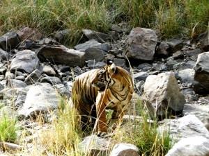 Tigress In Ranthambore by Sonal Malhotra