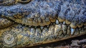 Textura y forma de la piel del cocodrilo by Franz Perzu