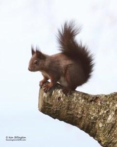 My Perch! - Eurasian Red Squirrel (Sciurus vulgaris)