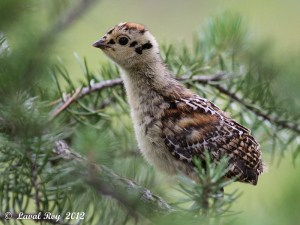 I wear the future in me - Spruce Grouse