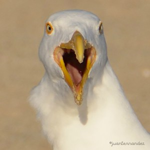 Angry Gull