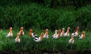 American Avocets in Breeding Plumage
