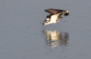 Osprey: in for the Kill
