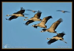 Common Crane Squadron!