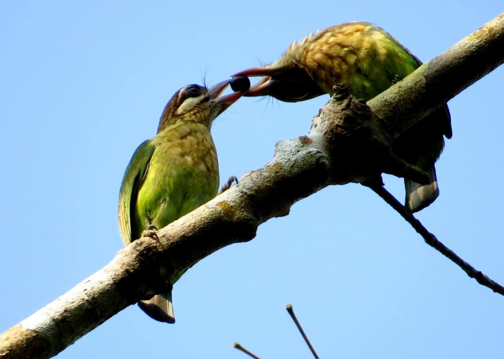 Levaillant's Barbet White cheeked Barbet